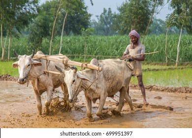 Traditional Indian framer using an oxen to plow Paddy field for planting.