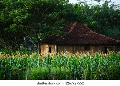 traditional Joglo House in a corn field