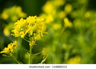 Traditional Kyoto vegetable of yellow potherb mustard flower in spring