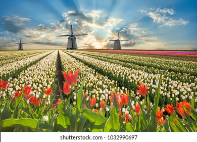 Traditional landscape with tulip flowers and windmill, beautiful spring field and majestic sky.