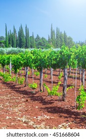 Traditional Mediterranean vineyards. Rows of vines on the farm. Traditional European Mediterranean Agriculture.