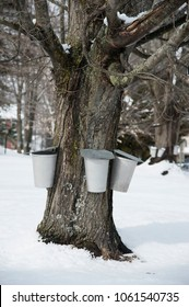Traditional metal buckets hang from maple tree to collect sap to make maple sugar and syrup in southern Maine after snowfall.