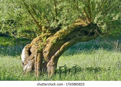 traditioneller Pollard Willow Tree (Salix viminalis) in Rheinland, Deutschland