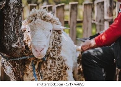 Traditional sheep shearer manually shearing a ewe with steel bladed shears in Serbia. Connecticut, in early March just before lambing season.