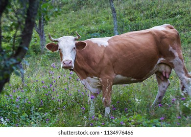 Traditional Simmental cow on alpine pasture