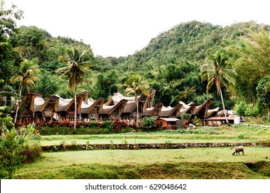 Traditional Tana Toraja village with buffalo in the foreground , tongkonan houses and buildings. Kete Kesu, Rantepao, Sulawesi, Indonesia