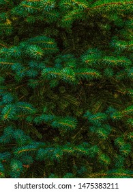 Traditional Undecorated Green Christmas Holiday Fir Tree Background Backdrop