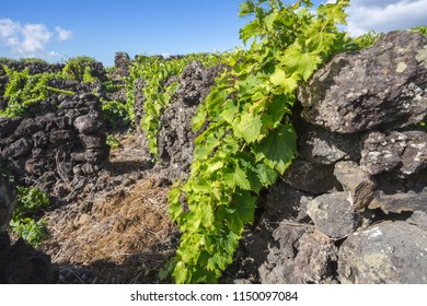 Traditional vineyard landscape of Pico Island, Azores, Portugal