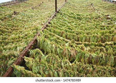 Traditional way of tobacco drying in tent, rural area of Greece