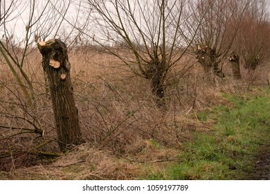 Traditionally trimmed or polled trees on the Somerset Levels