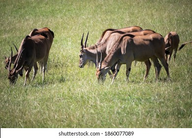 Tragelaphus Oryx, a big male eland antelope, looking for grass to eat