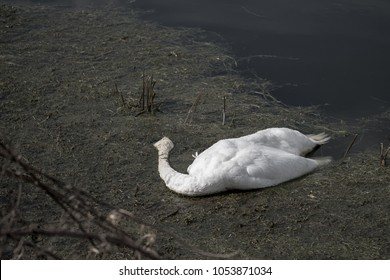 Tragic scene of a dead mute adult Swan seen floating near the banks of a large, inland lake at a nature reserve, The bird has been either shot or suffered from a poising due to illegal fishing.
