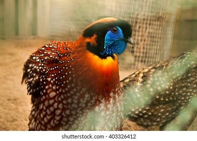 Tragopan Pheasant