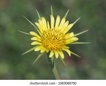 Tragopogon dubius flower known as western salsify, western goat's-beard, wild oysterplant, goatsbeard, common salsify