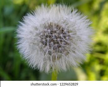 Tragopogon dubius. Western salsify. Dandelion flower. Milky fluff. Wild flower. Close up