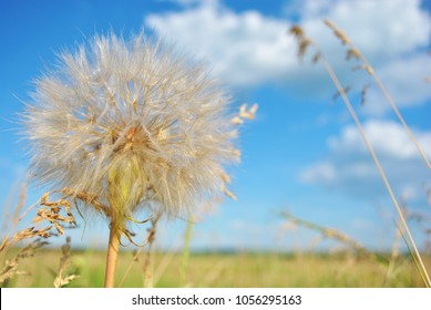 Tragopogon dubius (yellow salsify, western salsify, western goat's-beard, wild oysterplant, yellow goat's beard, goat's beard, goatsbeard, common salsify) flowers, sky and grass background, soft bokeh