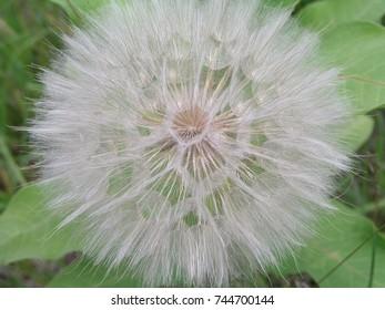 Tragopogon, goatsbeard or salsify is like a huge dandelion flower. Seeds in the form of parashuti with white fluff.