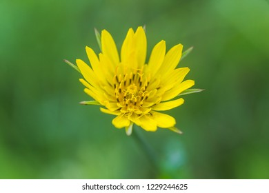 Tragopogon pratens, Jack-go-to-bed-at-noon, meadow salsify, showy goat's-beard, meadow goat's-beard yellow flowers like dandelion. medicinal and honey plants of Europe