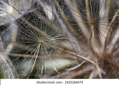 Tragopogon pratensis. Closeup of seeds with umbrellas. Gentle pastel floral background. Misty blurred background of dandelion flowers. Unobtrusive abstract background. Background image