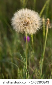 Tragopogon pratensis (common names Jack-go-to-bed-at-noon, meadow salsify, showy goat's-beard or meadow goat's-beard) is a distributed across Europe and North America.