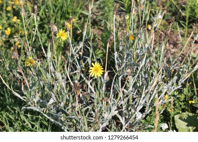 Tragopogon pratensis or meadow salsify, Belarus. General view of flowering plant
