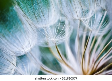 Tragopogon pseudomajor S. Nikit. Dandelion seeds, photo close up