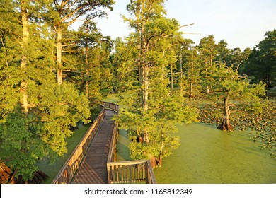 The trail between cypress trees - Reelfoot Lake State Park, Tennessee