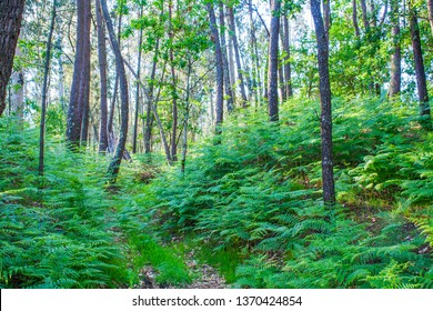 Trail between ferns in the pine forest