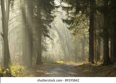 Trail in the coniferous forest on a foggy November morning.