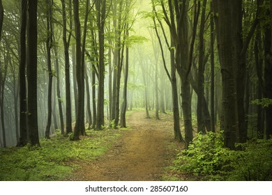 Trail in a foggy forest during spring. Green forest into the mist