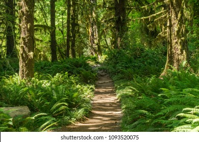 Trail in the Hoh Rainforest of Olympic National Park.