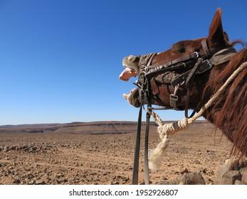 Trail horse yawning in desert blue sky