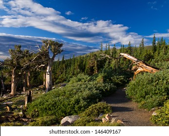 trail leading through a stand of Bristle Cone Pines below Mt. Evans, Colorado