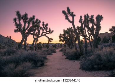 A trail lined with Joshua Trees in Joshua Tree National Park. Sunset.