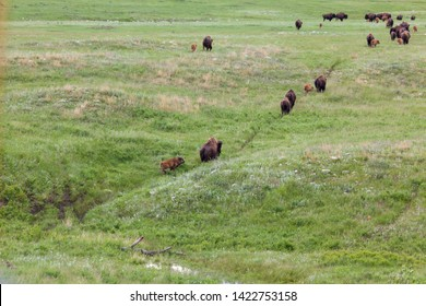 A trail of mother and baby bison making their way across the prairie with the last baby running to keep up.