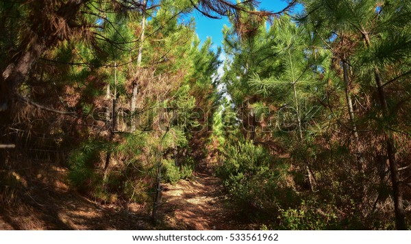 trail in the pine forest