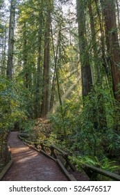 Trail in a Redwood Forest at Armstrong Redwoods State Park. Guerneville, California, USA