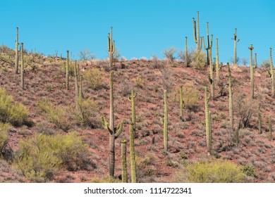 Trail Of Saguaros