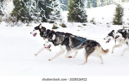 Trail sled husky race