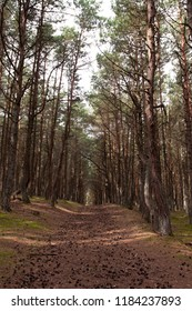 the trail strewn with pine cones between the pines in the coniferous forest of the national Park Curonian spit