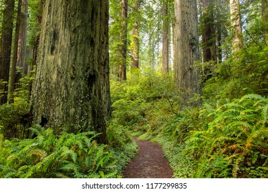 A trail threough a redwood forest near Mendocino, CA