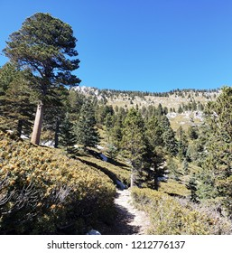 Trail through an alpine meadow with pines, California