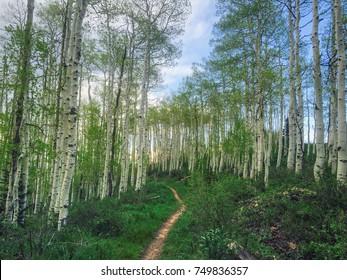 Trail through the aspens in Deer Valley, Utah, USA