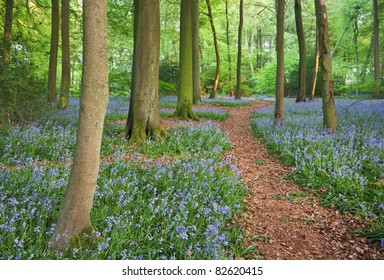 A trail through bluebell woods in England at their peak of their bloom.