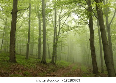 Trail through the foggy spring beech forest.