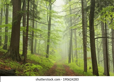 Trail through the foggy spring forest.