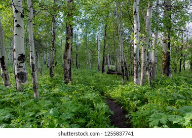 Trail Through Foliage and Aspen Tree Forest