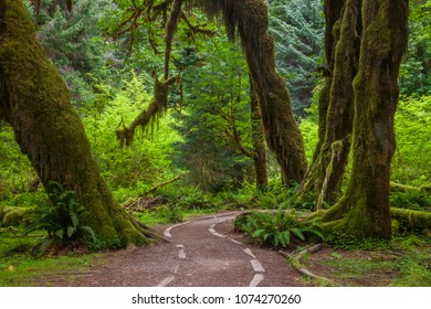 A trail through the Hoh Rainforest in Olympic National Park, Washington, USA