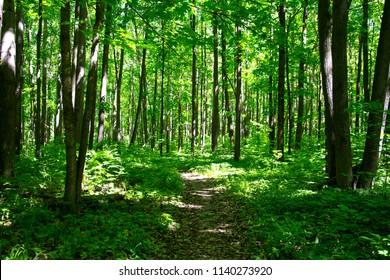 Trail through lush green forest.