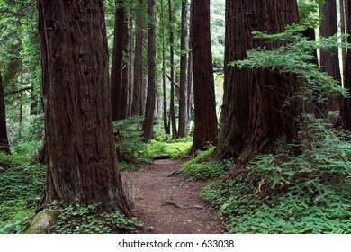 Trail through Redwood Forest, Limekiln State Park, Big Sur, California